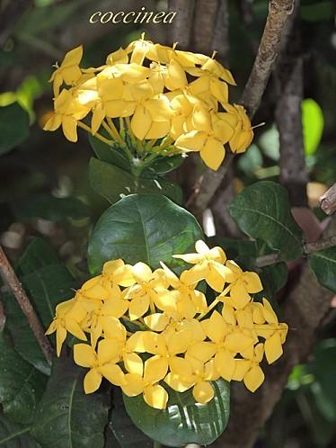 Ixora jaune