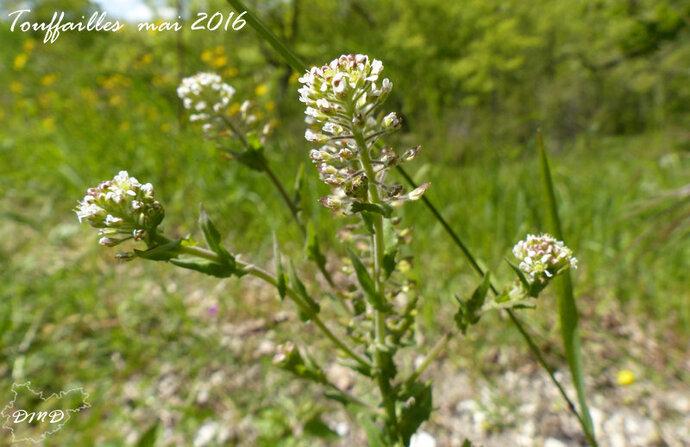 Lepidium campestre   - passerage des champs