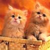 Chats roux dans un panier