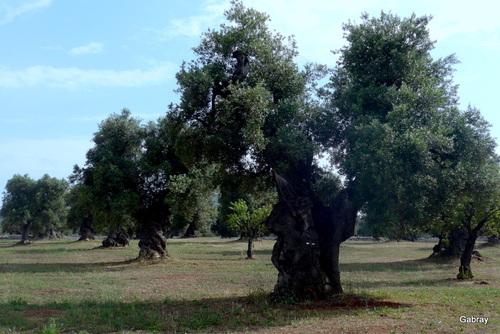 Italiedu sud : les oliviers