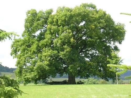 Vertus médicinales des arbres : CHENE