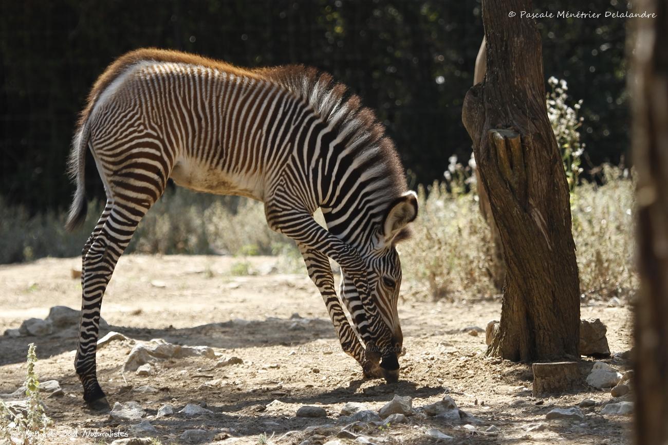Zèbre de Grevy (Equus grevyi)