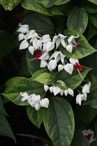 Clerodendrum thompsoniae 'Variegatum'
