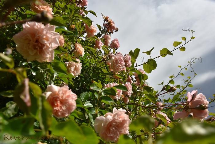 Tant qu'il y aura des roses...