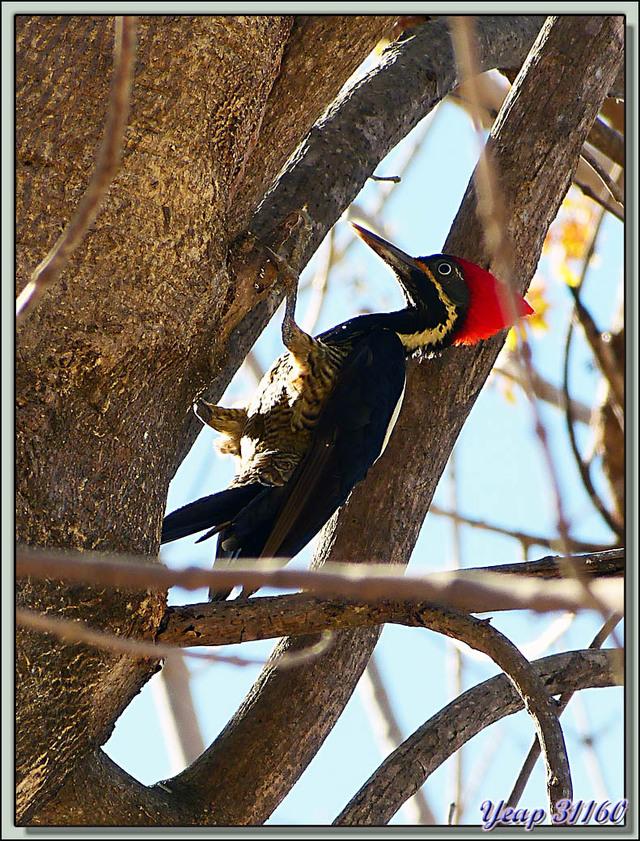 Blog de images-du-pays-des-ours : Images du Pays des Ours (et d'ailleurs ...), Pic ouentou, Lineated Woodpecker (Dryocopus lineatus) - Rincon de la Vieja - Costa Rica