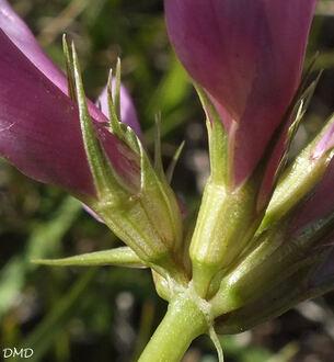 Trifolium alpinun - trèfle des Alpes - réglisse