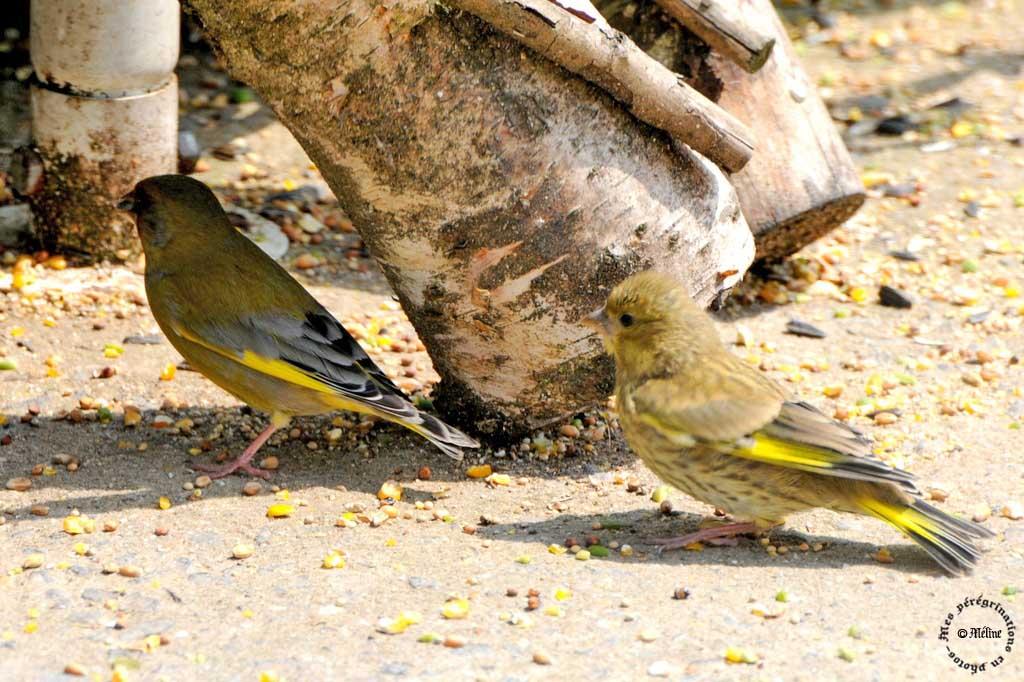 Les oiseaux de mon jardin - Fin !