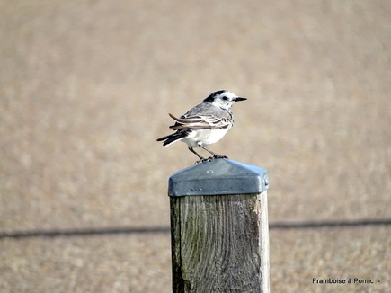 Les oiseaux du Marais de Mullembourg à Noirmoutier - mars 2019