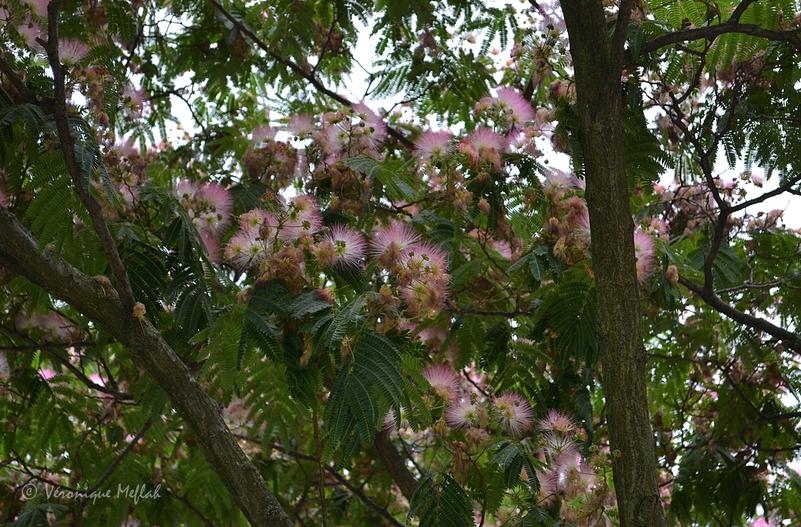Square Barye - Paris 4e : L'Albizia, Arbre à soie ou Mimosa de Constantinople