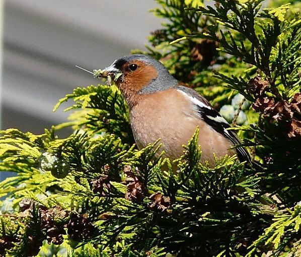 Pinson-des-arbres-7-8-06-11-022.jpg