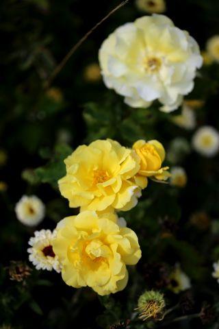 Les Roses de Warren : Jaune Citron