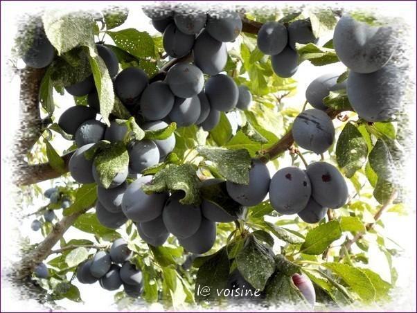 prunier-recolte-5.09.11.jpg