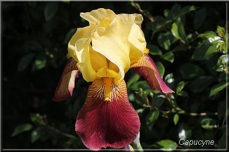 Les iris au jardin