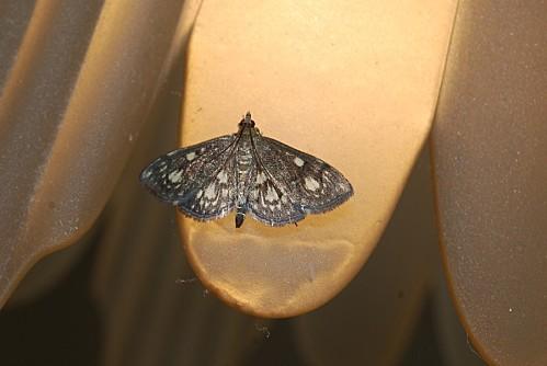 Anania coronata - Crambidae