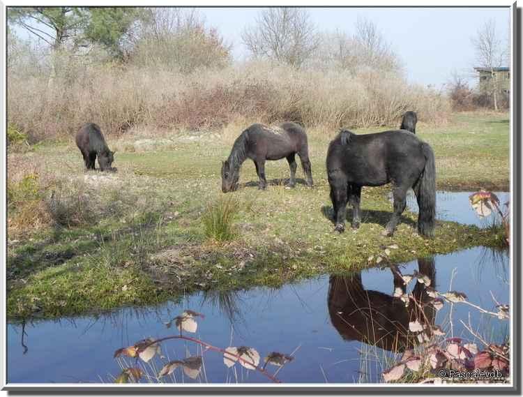 Parc ornithologique du Teich - cheval Mérens