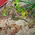 Biodiversité sur le site: Triton marbré