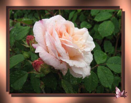 Roses de ma belle-soeur