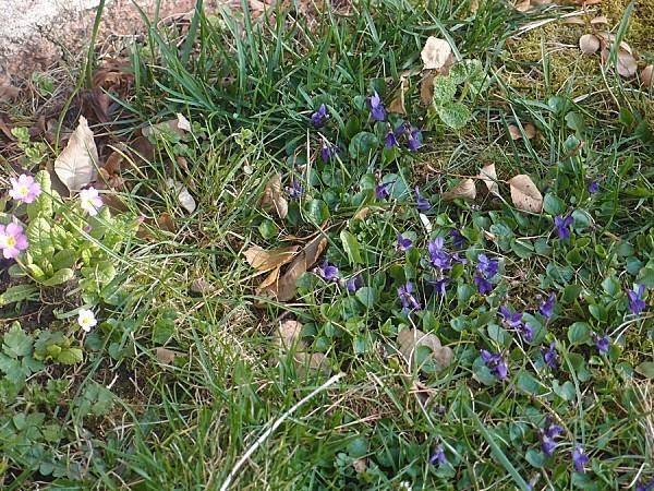Primeveres-et-violettes.jpg