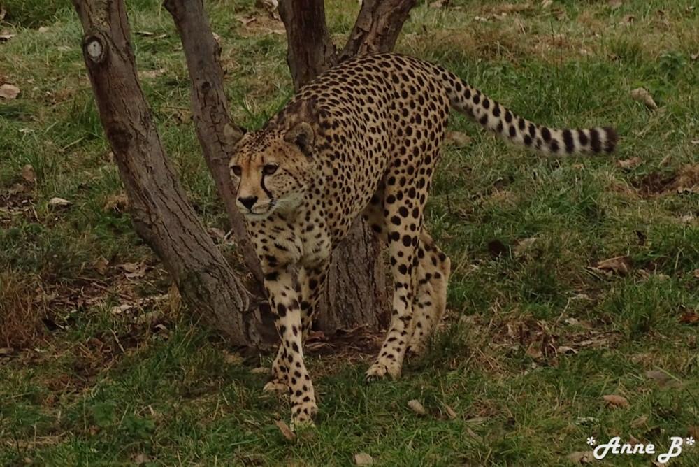 La tranquillité du guépard