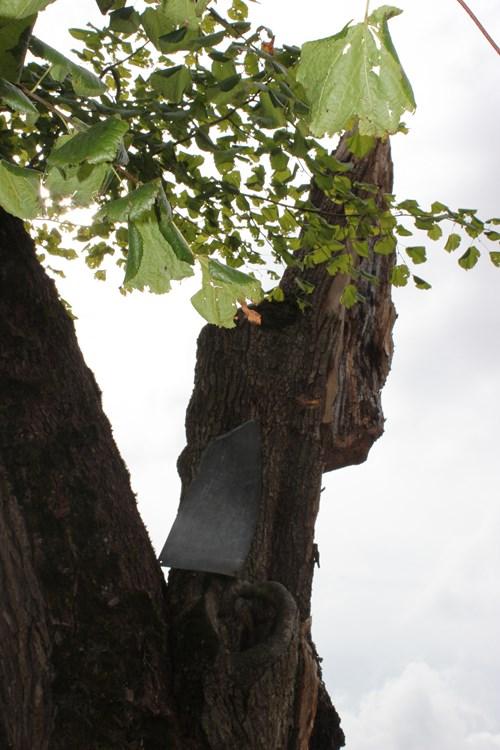 """Un arbre remarquable: le """"Sully"""" de Planay..."""