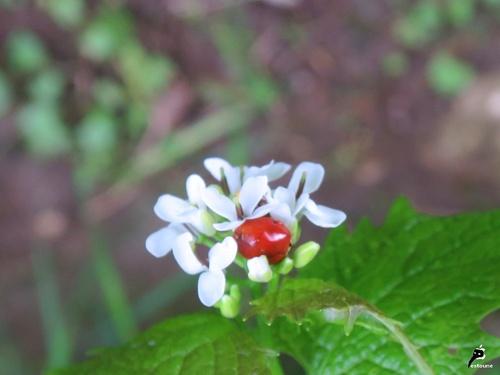 Coccinelle asiatique (Harmonia axyridis)