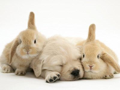 bébé Golden Retriever et des lapins