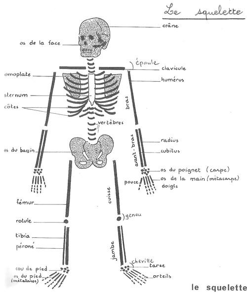 Sciences C3 : Notre squelette et nos muscles (2)