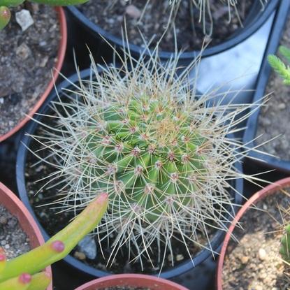 Cactus n°5 - Je pense à Acanthocalycium Spiniflorum Violaceum mais pas encore bien sûre