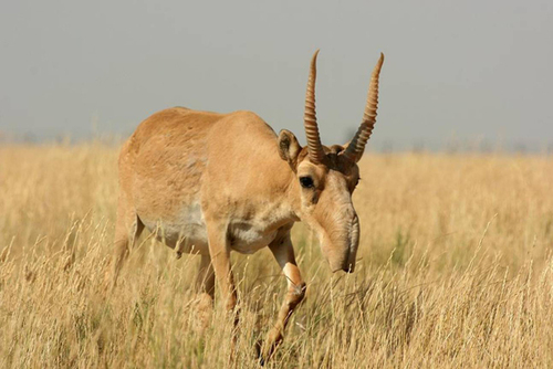 L'Antilope Saïga