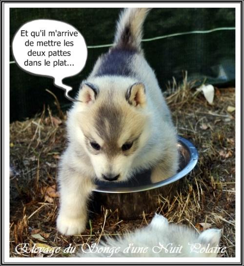 Chiot Husky Femelle 3 (34j)
