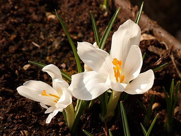 Crocus-Jeanne d Arc 2