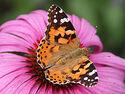 """Résultat de recherche d'images pour """"papillon cardui"""""""