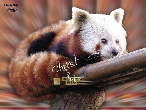 Panda Roux .