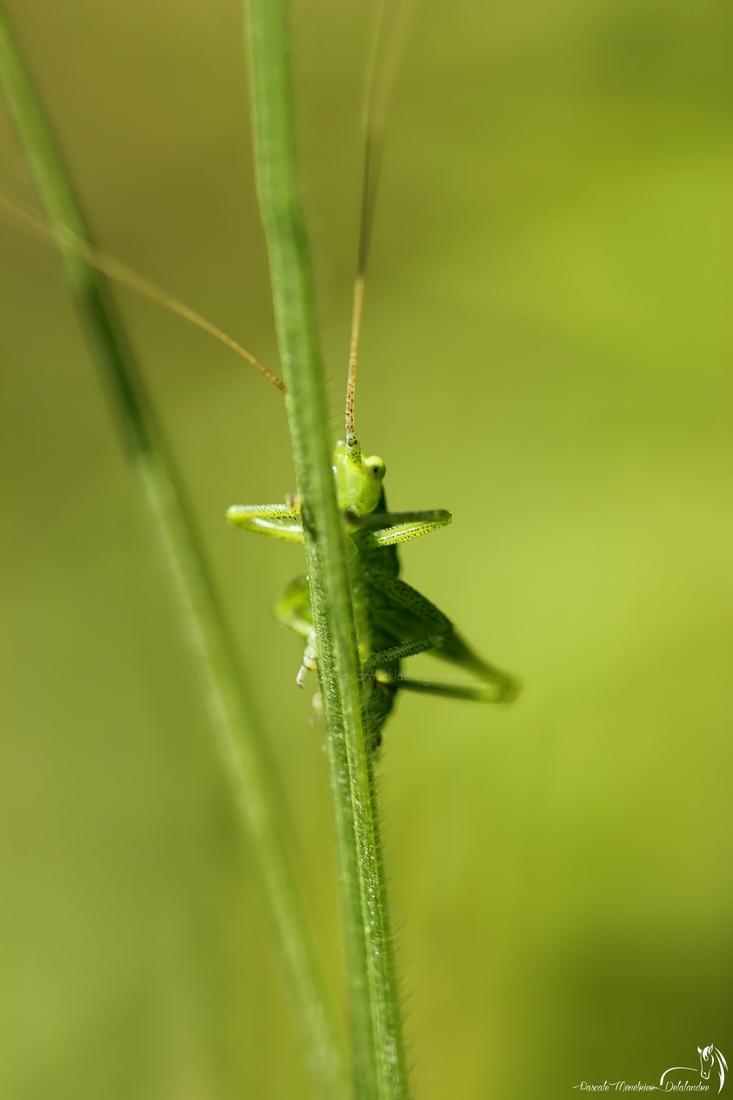 Sauterelle de la famille des Tettigoniidae