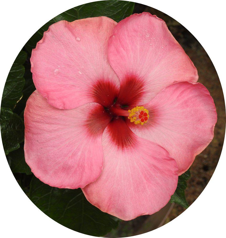 Jolie fleur d'hibiscus, ou rose de Chine...