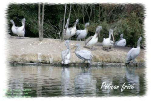 03 pelican frisé 2