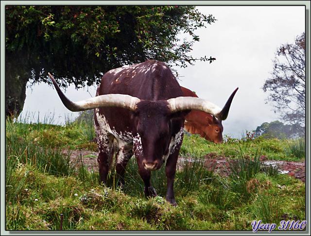 Blog de images-du-pays-des-ours : Images du Pays des Ours (et d'ailleurs ...), Longhorn cow (Vache longue cornes) - Costa Rica