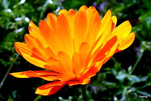 Les soucis: des fleurs