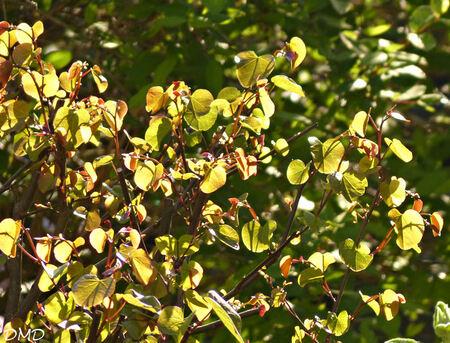 Cercis siliquastrum  -  arbre de Judée