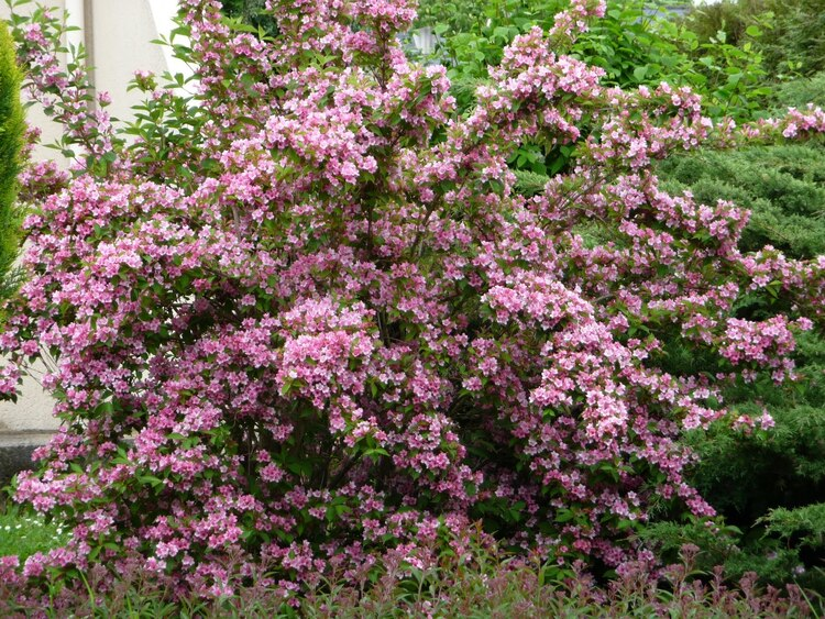 Rose Printemps (Weigela)
