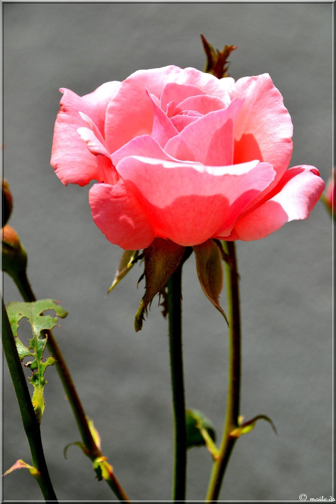 La rose de l'amitié pour notre ami Jacques.