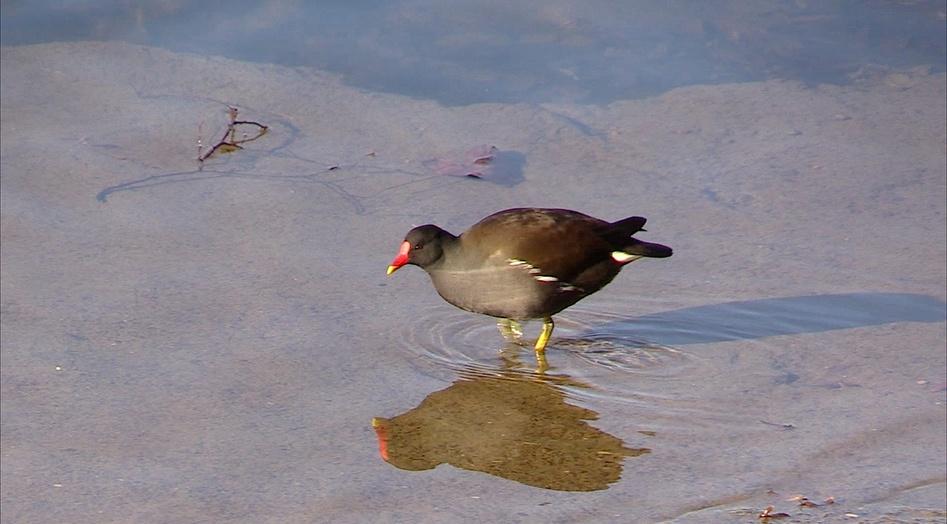Portraits d'oiseau (6): la poule d'eau