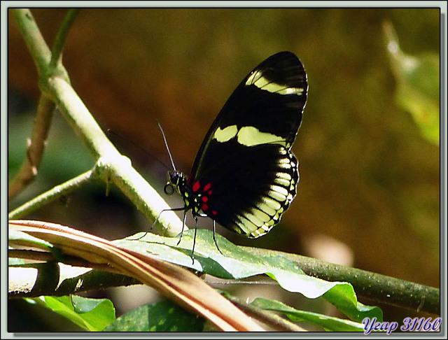 Blog de images-du-pays-des-ours : Images du Pays des Ours (et d'ailleurs ...), Papillons Héliconius - Refuge National de Faune Hacienda Barù - Dominical - Costa Rica