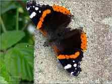 Le Vulcain Vanessa atalanta Nymphalidae
