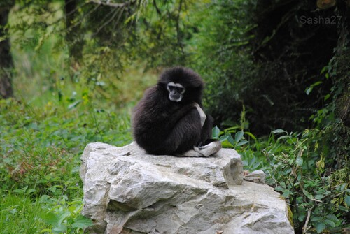 (2) Le gibbon à mains blanches.