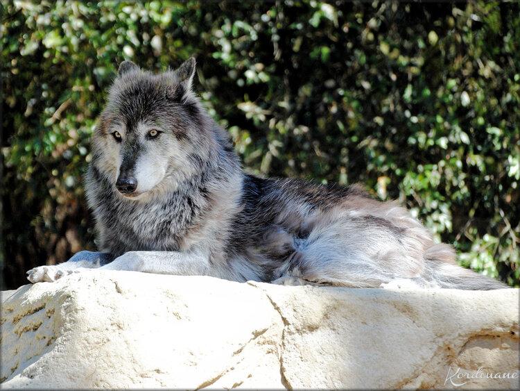 Photo de Loup de Mackenzie - Zoo de la Palmyre