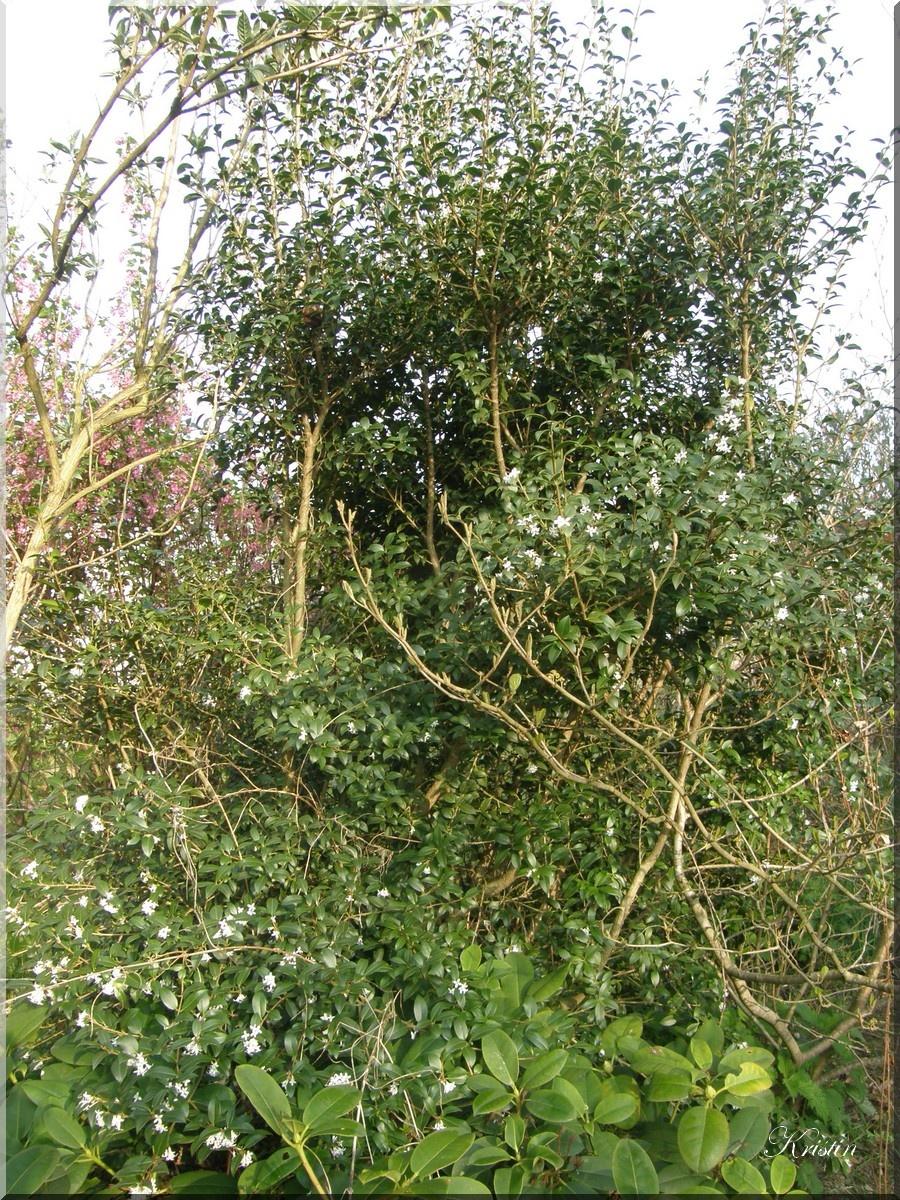arbustes persistants - (page 3) - jardin, chats et animaux