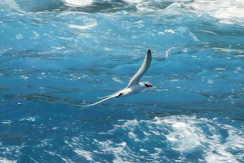 Phaéton à Bec Rouge (Red-billed Tropicbird)