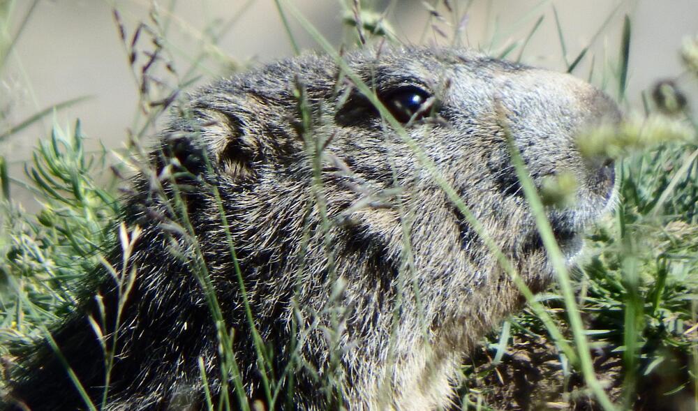 des marmottes à Allos  par Bébert