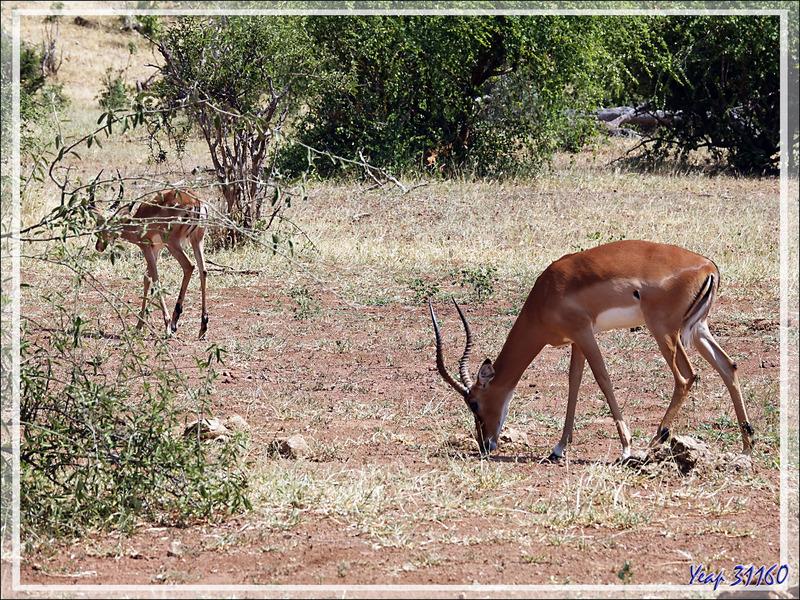 Impala mâle (Aepyceros melampus) - Safari terrestre - Parc National de Chobe - Botswana